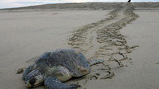 Meksika'da binlerce kaplumbağa yumurta bırakmak için sahillere akın etti