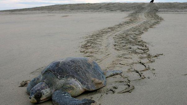 Baleia-corcunda encalha em praia do Chile