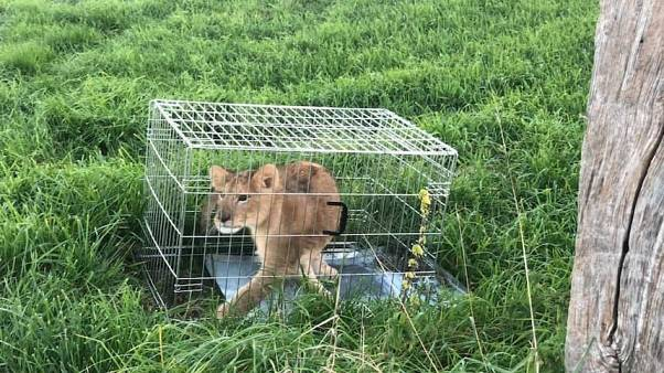 Jogger finds abandoned lion cub in the Netherlands
