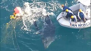 Baleia fica presa nas redes de tubarões na Austrália