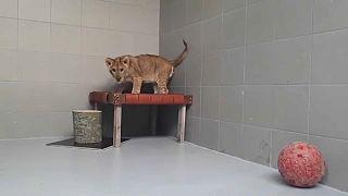 Niederlande: Jogger findet ausgesetztes Löwenbaby