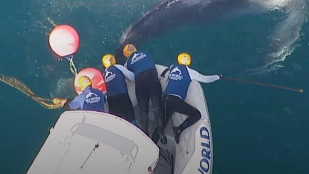 Humpback whale calf freed from netting off Australian coast