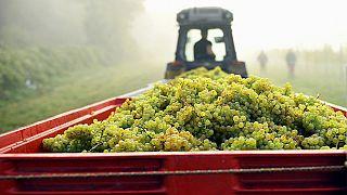 El inusual verano inglés de este año es una buena noticia para su vino espumoso