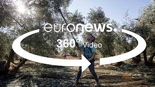 جنگ تجاری آمریکا با اروپا مزارع زیتون اسپانیا را از رونق انداخت