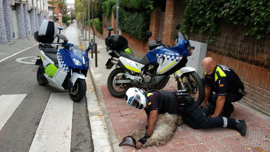 Dos agentes de policía retienen al emú en Sant Cugat