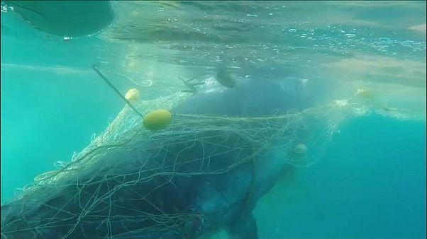 شاهد: عملية انقاذ حوت علق بشباك لصيد القرش