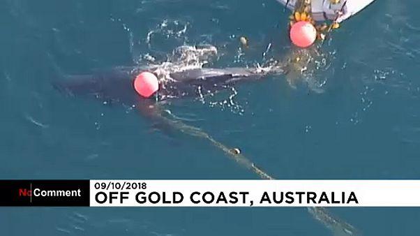 Hálóba gabalyodott egy bálnaborjú Ausztráliában