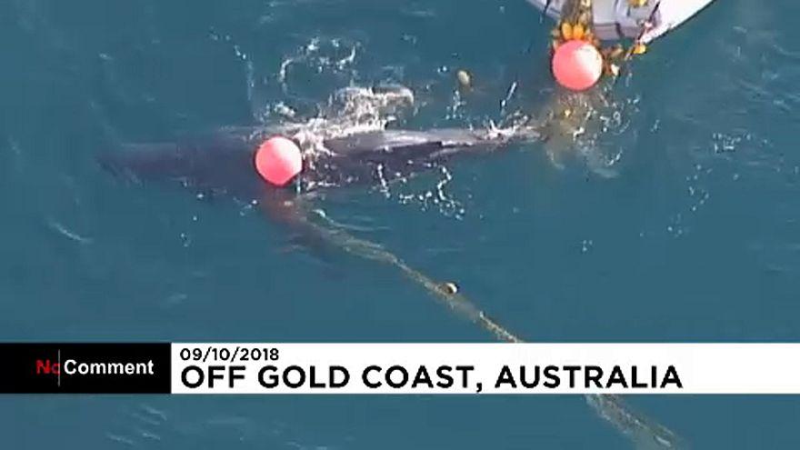 Avustralya'da köpek balığı ağına takılan balina yavrusu kurtarıldı