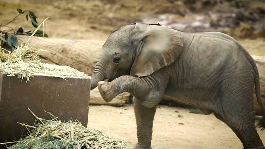 شاهد: صغيرا فيل يمرحان في حديقة حيوان سان دييغو