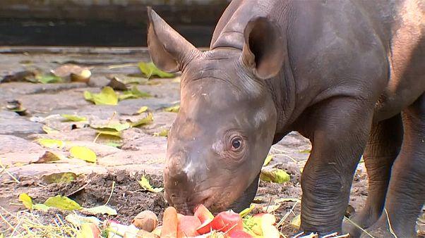 Berliner Zoo: Mutiges Nashornbaby