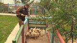 Şili'de polisler suçla mücadele kapsamında köpek yavrularını eğitiyor