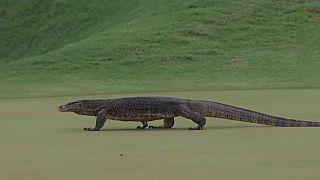 Σαύρα φανατική με το... γκολφ