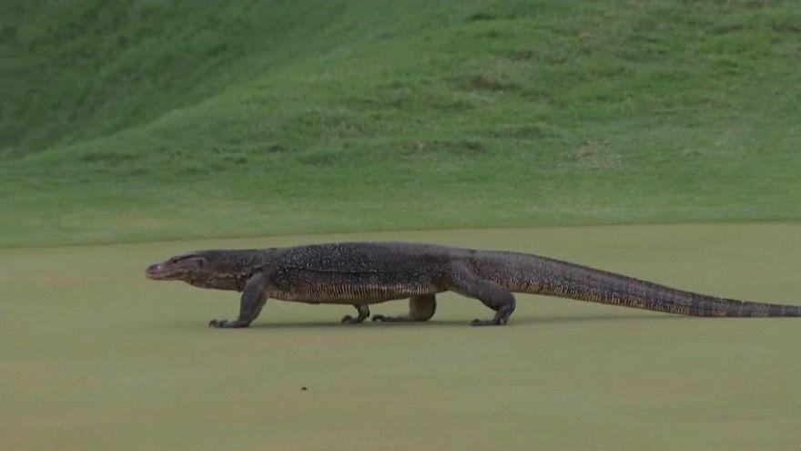 شاهد: سحلية عملاقة تزور لاعبي الغولف خلال البطولة المفتوحة في كوالالمبور