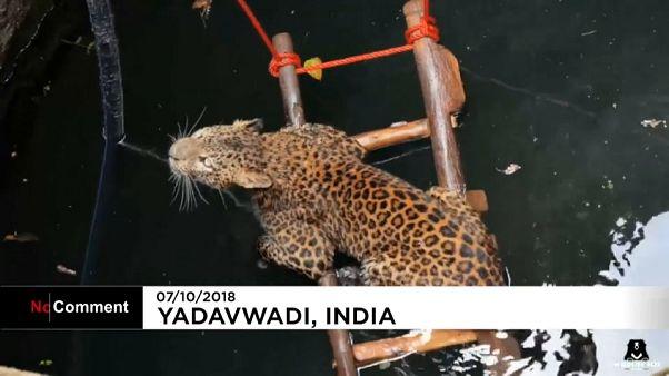 نجات پلنگ از عمق چاه در هند
