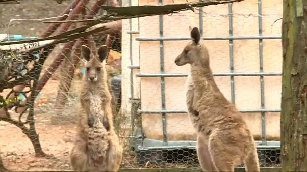 شاهد: ذكر كنغر رمادي يهاجم عائلة في أستراليا