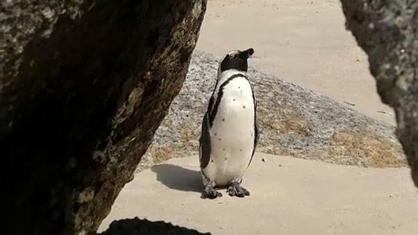 Veszélybe kerültek a pingvinek