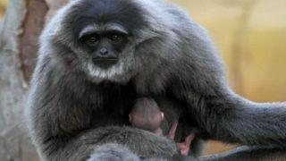 Watch: Endangered silvery gibbon born at UK zoo