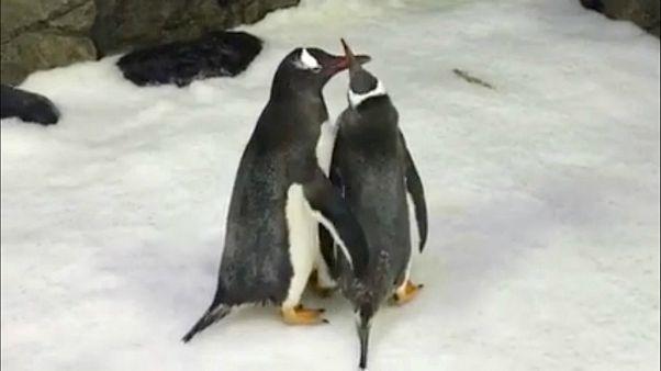 پنگوئنهای همجنس برای پرورش نوزادشان آماده میشوند