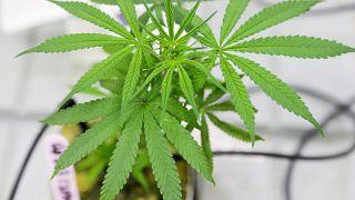Légalisation du cannabis au Canada : un marché qui rapporte