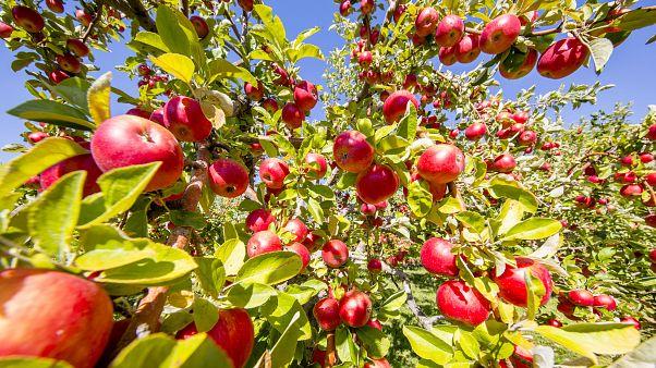 Amasya markasını Niğde'ye kaptırdı: Amasya elmasının yüzde 65'i Niğde'de üretiliyor