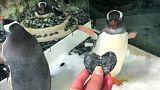 Homo-Pinguine Sphen und Magic brüten 1 Ei aus