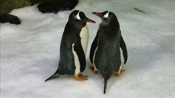 Meleg pingvinek költenek tojást Sydney-ben