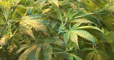 Фотки листа конопли томск марихуана купить