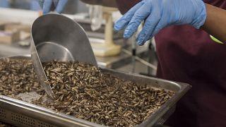 Crickets being prepared