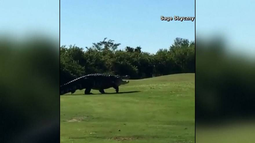Watch: Not par for the course! Huge alligator spotted on golf fairway