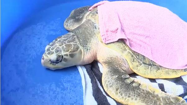 Watch: Sea turtles released off coast of North Carolina