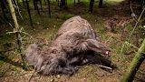 Danimarca: il mistero dell'alpaca decapitata ritrovata nella foresta