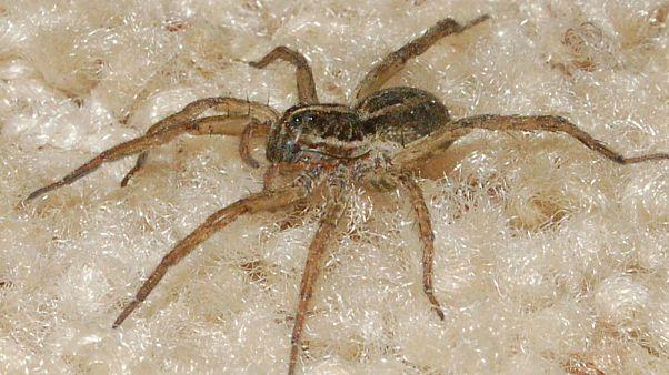 Illustration : une araignée-loup photographiée en Floride aux Etats-Unis