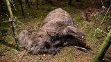 Grausig: Tier ohne Kopf und ohne Hufe in einem Wald in Dänemark gefunden