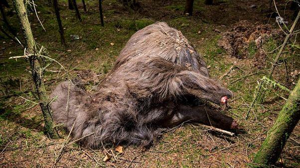 Surreal: Tier ohne Kopf und ohne Hufe in einem Wald in Dänemark gefunden