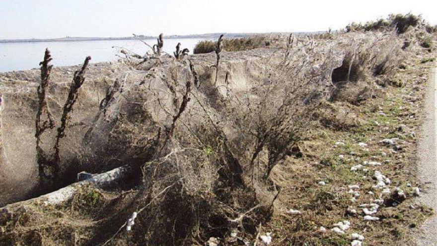 Grecia: ragnatela enorme ricopre strade e vegetazione a Xanthi