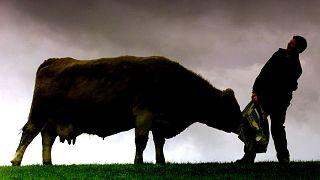 Mucca pazza: scoperto nuovo caso in Scozia