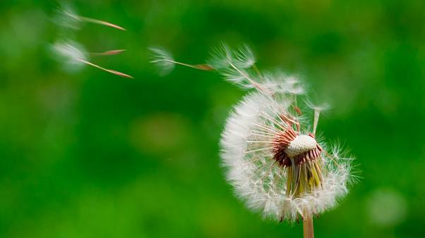 Dandelion seeds blowing in the wind.
