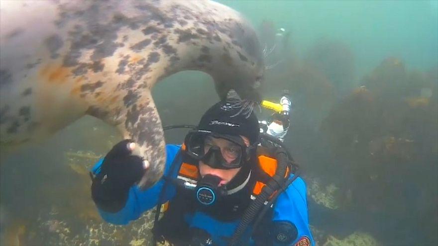 Dalış arkadaşları: Fok dalgıcın maskesini kontrol ediyor