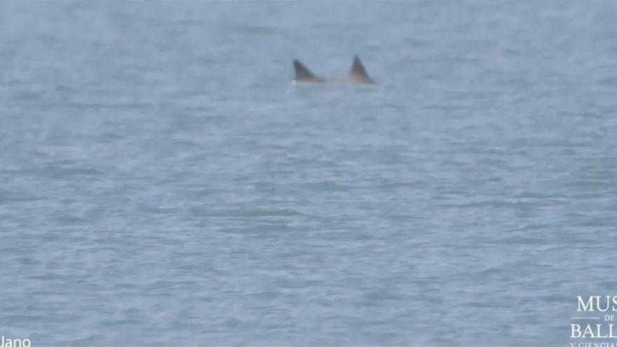 شاهد: دلافين الفاكويتا المهددة بالانقراض تعود للحياة مجددا في المكسيك