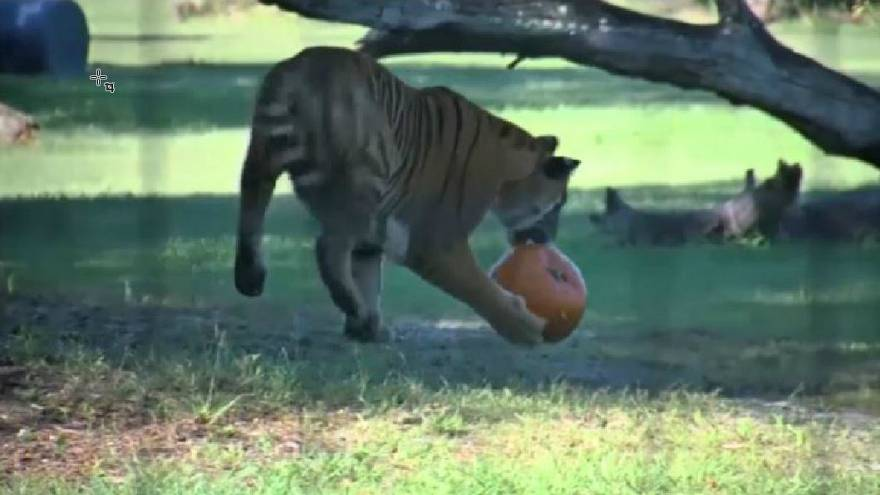 Watch: Tigers and jaguars get an early Halloween treat