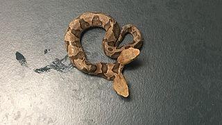 Çift başlı yılanların oldukça nadir olduğu belirtiliyor