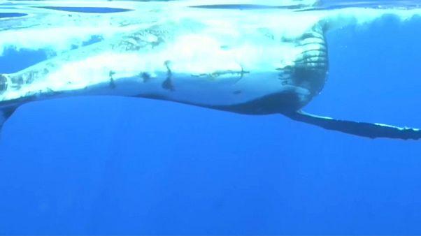 لذت شنا با نهنگ مادر و فرزندش در اقیانوس هند