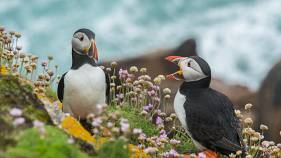 Saving puffins in Iceland