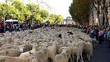 Centro de Madrid invadido por ovelhas