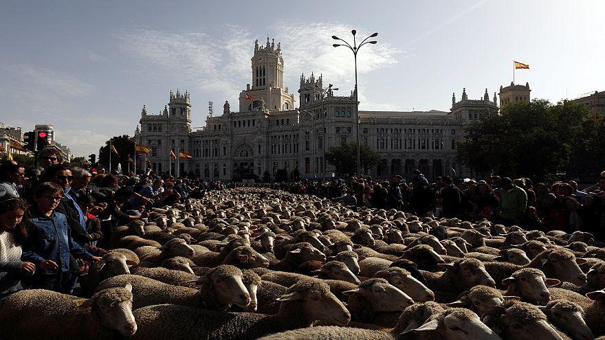 По традиции по улицам Мадрида прогнали 2 тысячи овец