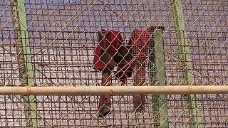 مقتل شحص وإصابة ثلاثة خلال إقتحام 300 مهاجر للسياج الفاصل بين المغرب مليلية