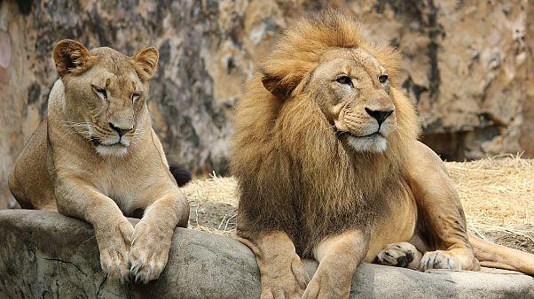 Hayvanat bahçesinde sıra dışı olay: Dişi aslan erkek aslanı öldürdü