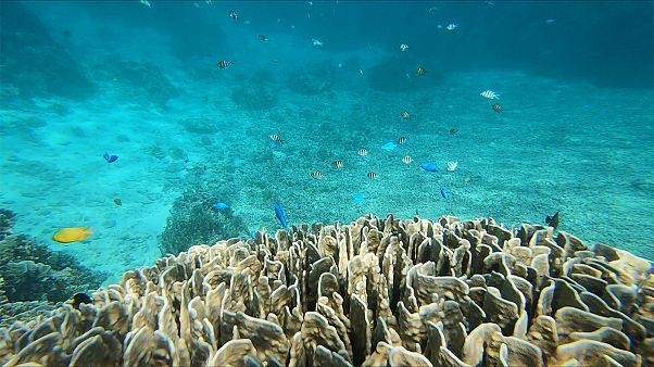 جزيرة إشيغاكي وشعبها المرجانية الزرقاء النادرة تجذب الغواصين من كل أنحاء العالم