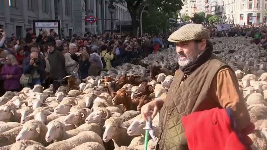 Thousands of sheep herded through Madrid to mark annual festival