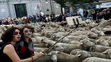 شاهد: آلاف الخراف تتجول في شوارع مدريد